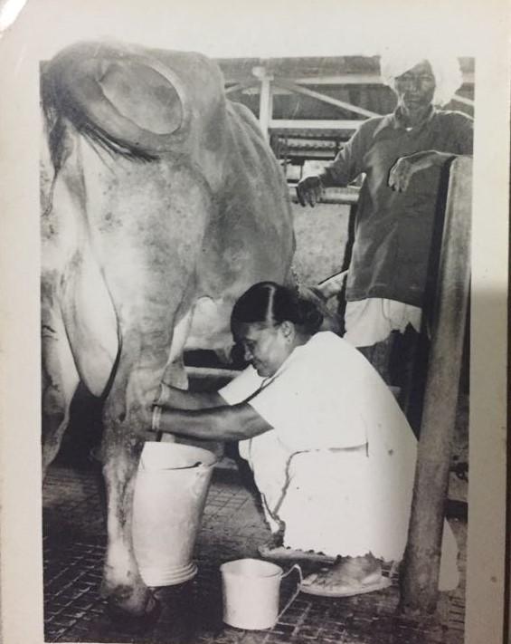 Mukta ajji milking the cows